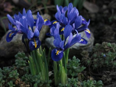 dwarf-iris-3236606_1920
